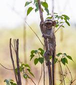 picture of baby-monkey  - A cute baby vervet monkey exploring his habitat - JPG
