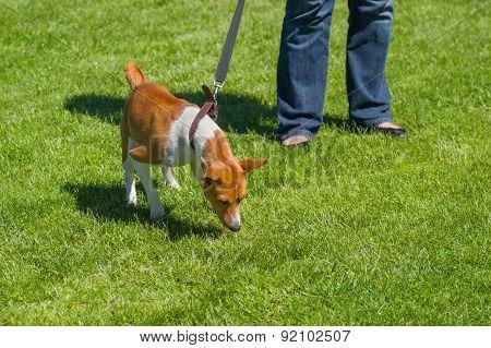 Basenji strains dog's lead