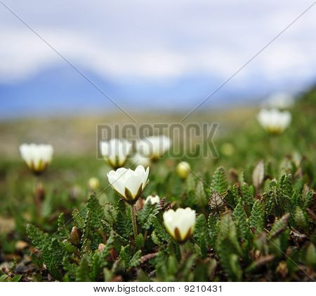 Alpine Meadow In Jasper National Park