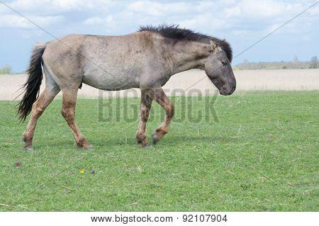 Wild Conic Stallion walking on pasture