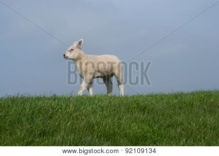 White lamb walking on dike