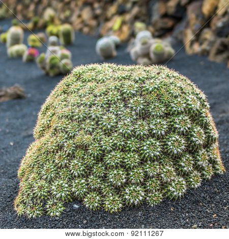 View of cactus garden, jardin de cactus in Guatiza, Lanzarote, Canary Islands, Spain