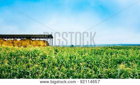Corn Field In Summer Season