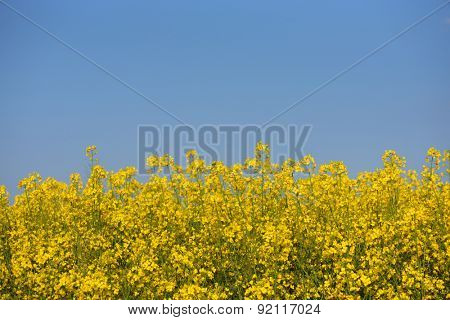 Blooming canola field against the blue sky