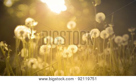De-focused dandelion on the meadow at sunlight background