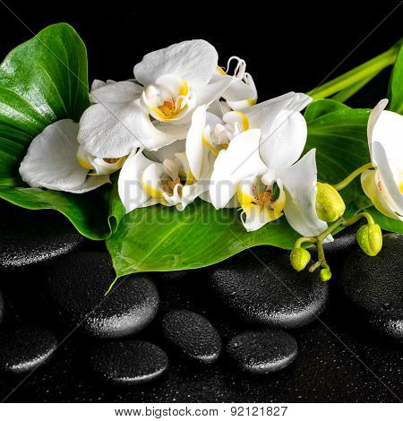 Beautiful Spa Concept Of Blooming White Orchid Flower, Phalaenopsis, Green Leaf With Dew On Black Ze
