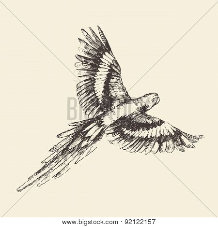 Parrot Vintage Engraved Illustration, Hand Drawn
