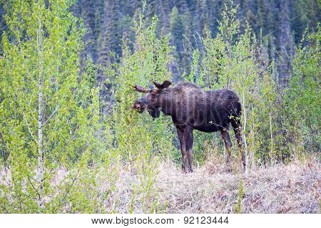 Browsing Bull Moose