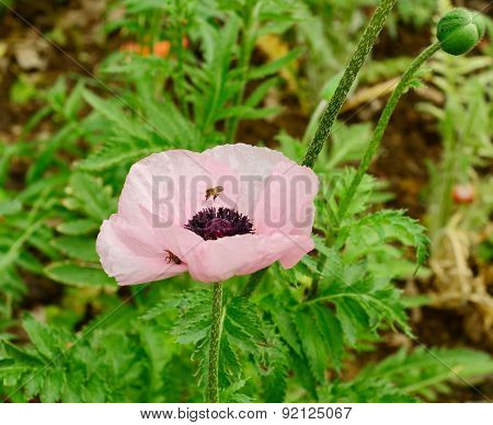 Pink poppy and a bee