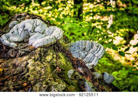 Hoof Fungus Growing On A Fallen Tree Trunk