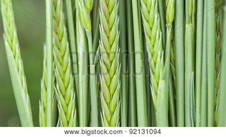 Green Hay Grass