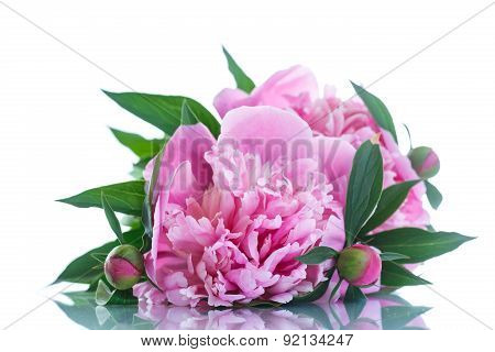 Blooming Peony