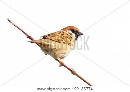 Isolated Male Sparrow On Twig