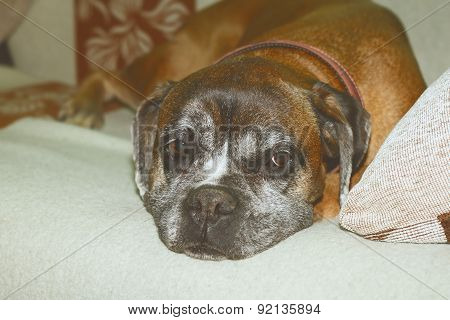 Vintage Effect Image Of Boxer Breed Sleeping On Couch