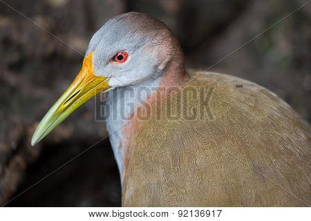 Giant Woodrail Bird Portrait