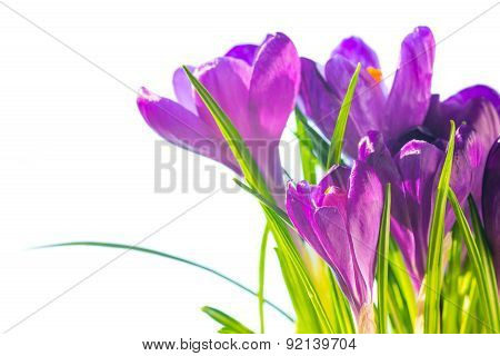 First Spring Flowers - Bouquet Of Purple Crocuses