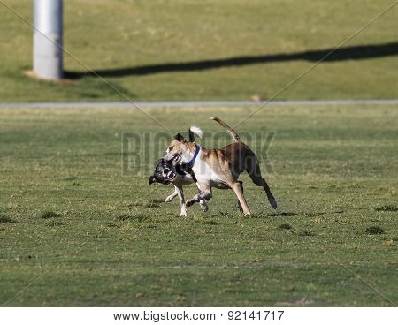 Dogs wrestling at the park