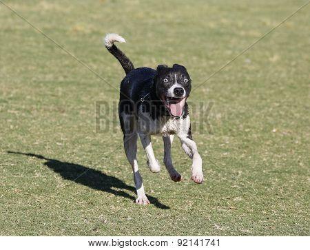 Smiling Whippet running