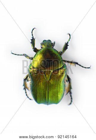 Beetle Isolated On White Background.