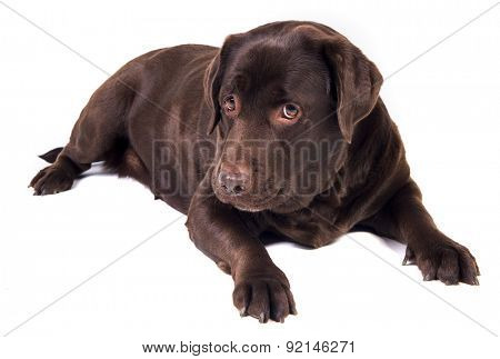 Sad and hungry chocolate labrador dog girl is isolated on the white background
