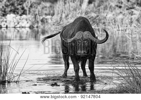 Thirsty Cape Buffalo Bull Drinking Water From Pond Artistic Conversion