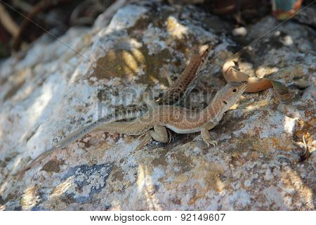 Reproduction Of Lizards In The Wild