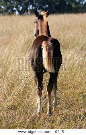 Colt In Field