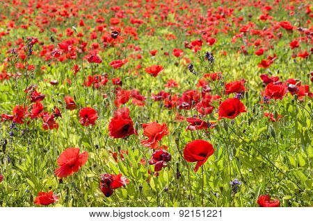 Common Poppy Flowers, Papaver Rhoeas