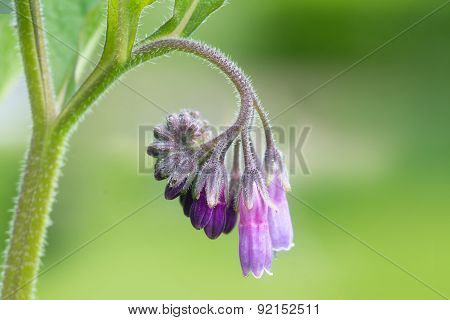Blossom Of Comfrey Common Comfrey, Symphytum Officinale,close Up