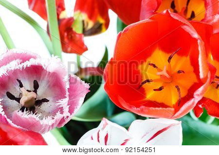 Fresh Red, White, Pink Tulip Flowers In Posy