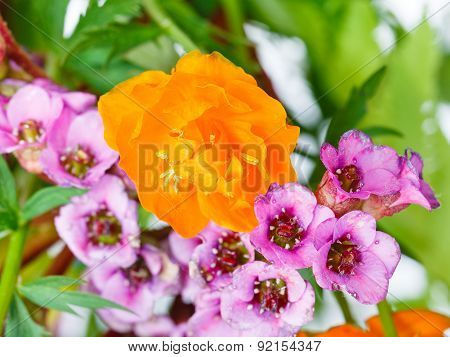 Decorative Trollius And Bergenia Flowers Close Up