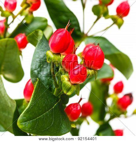Red Seeds Of Hypericum Flower