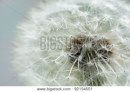 Dandelion Blowball, Close Up, Blurred Background