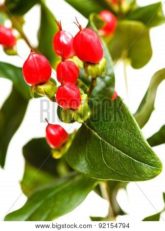 Red Seeds Of Hypericum Plant