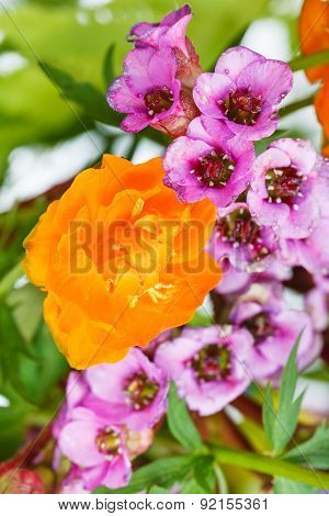 Wild Trollius And Bergenia Flowers Close Up