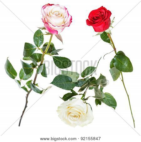 Set From Pink, Red, White Rose Flowers Isolated