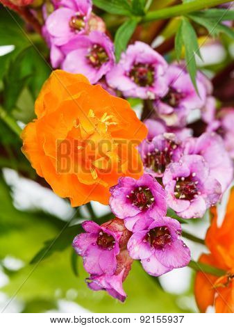 Garden Trollius And Bergenia Flowers Close Up