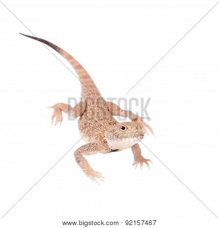 Secret Toad-Headed Agama on white