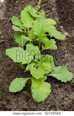turnip sprout in vegetable garden