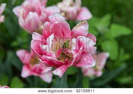 Blossoming tulip