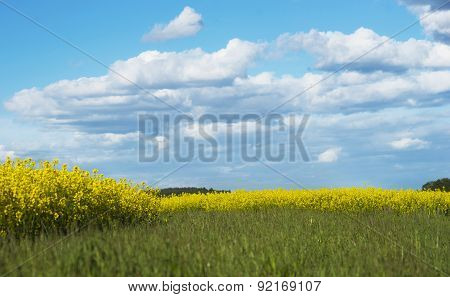 Field Of Rapeseed Oil Plants