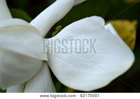 Extreme Closeup Of Gardenia Petal