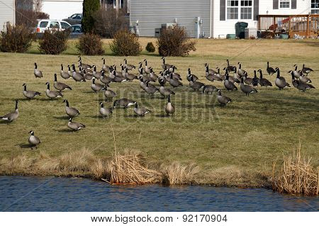 Migrating Geese Stopping in a Residential Neighborhood