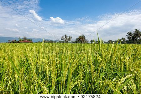 paddy fields and close up view of stalks of rice. Village huts in the background. Scene from Sumatra, Indonesia.