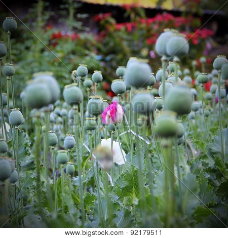 Closeup Of Flower Opium Poppy