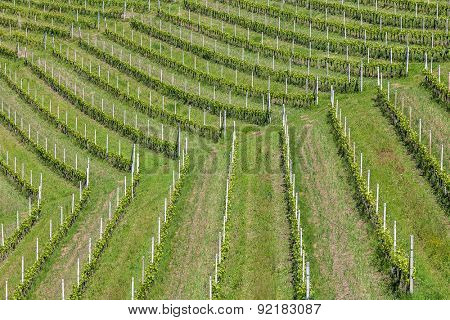 Row of green vineyards in Piedmont, Northern Italy.