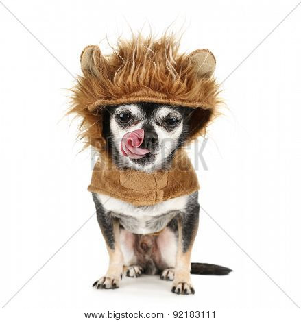 a tiny chihuahua in a lion costume licking his nose isolated on a white background