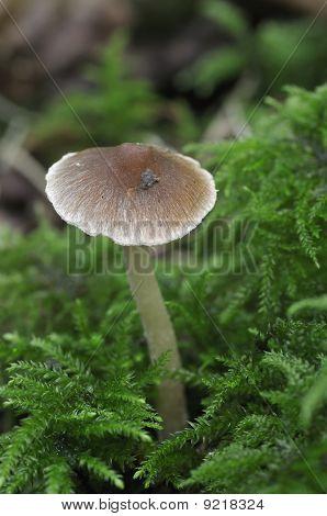 Psathyrella Fungus