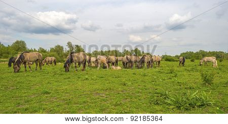Herd of wild horses grazing in nature in spring