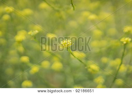 Cluster Of Yellow Blossoming Wildflower